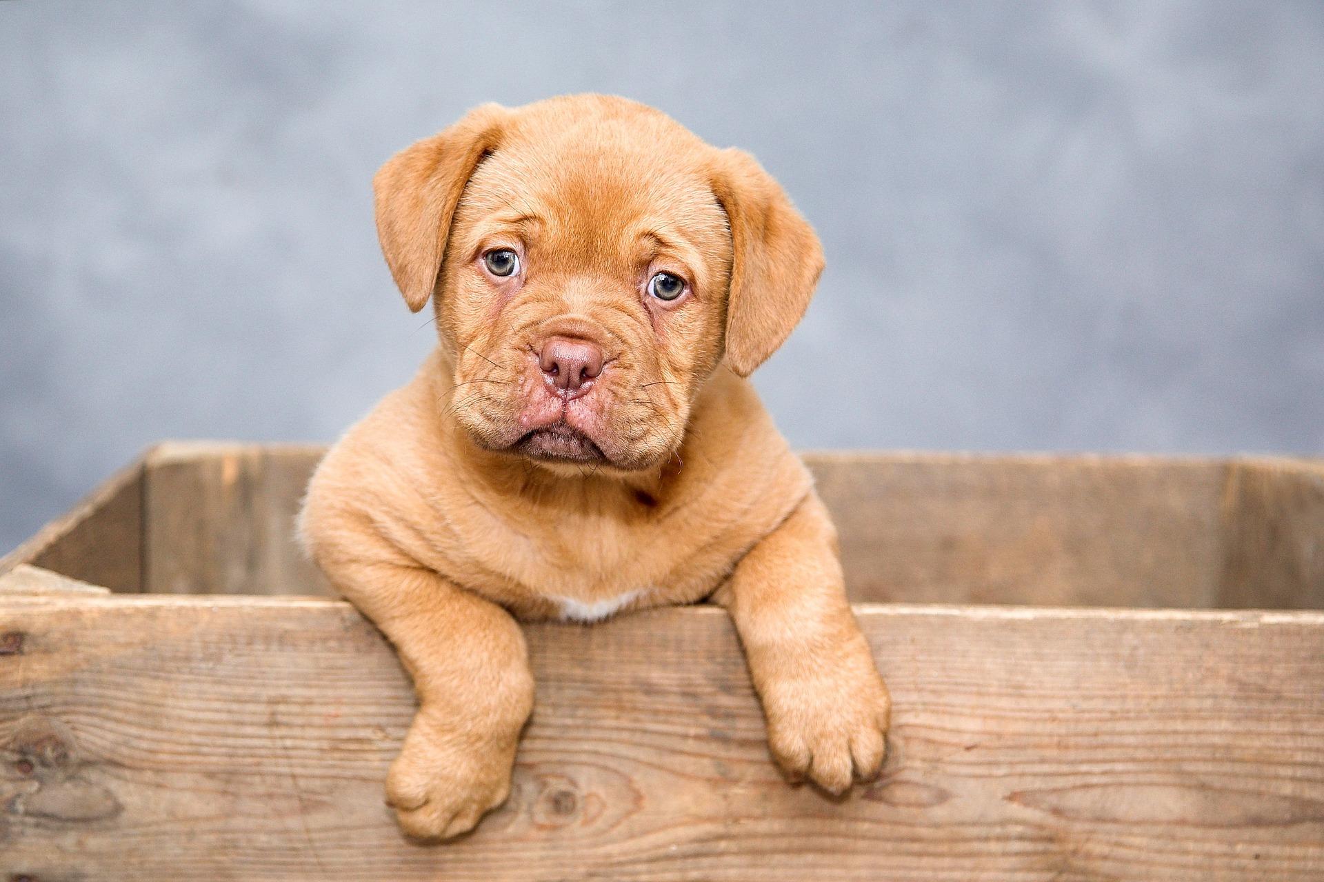 puppy 12 weken